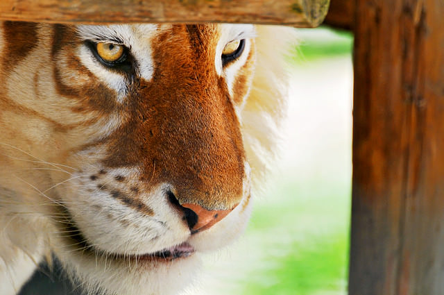Framed golden tiger By Tambako the Jaguar