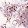 春の訪れ、桜の開花 卒業