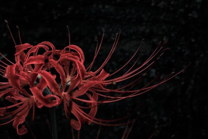 暗闇に咲くヒガンバナ